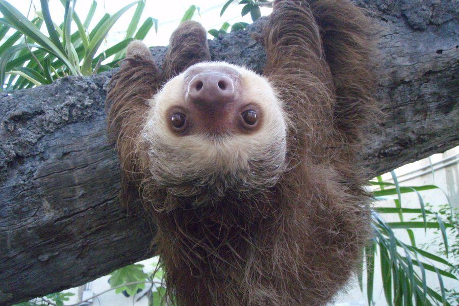 Advice Column: Adopting a Baby Sloth?